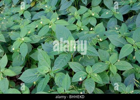 Impatiens parviflora - Small Balsam naturalised in Oak woodland, Netherlands