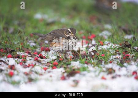 Redwing Turdus iliacus adult foraging for berries in the snow at Oldmixon Industrial Estate, Weston-Super-Mare, - Stock Photo