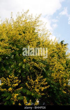 Koelreuteria paniculata AGM - Golden Rain Tree - Stock Photo