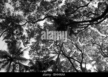 Tree branches seen from bellow in Goa, India. - Stock Photo
