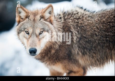 wolf (lat. Canis lupus) standing in the snow, focus is on the eyes - Stock Photo