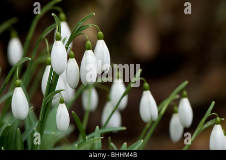 Close up of Galanthus 'Magnet', Snowdrops, at Painswick Rococo Garden in The Cotswolds - Stock Photo