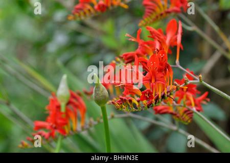 Montbretia (Crocosmia x crocosmiiflora 'Lucifer') - Stock Photo