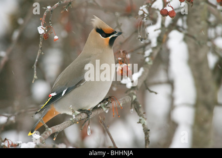 Bohemian Waxwing perched in Siberian Crab Apple Berries with snow - Stock Photo