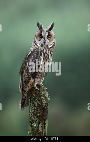 Long eared owl (Asio otus) perching on moss covered stump - Stock Photo