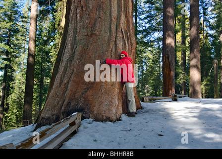 Tree Hugger. Giant Sequoia Trees of Tuolumne Grove in Yosemite National Park. - Stock Photo