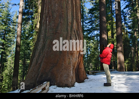 A man looking up in awe of a Giant Sequoia Tree of Tuolumne Grove in Yosemite National Park. - Stock Photo