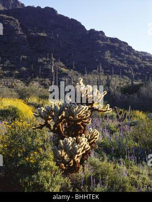 ARIZONA - Brittlebush in bloom among the saguaro and cholla cactus below Picacho Peak in Picacho Peak State Park. - Stock Photo