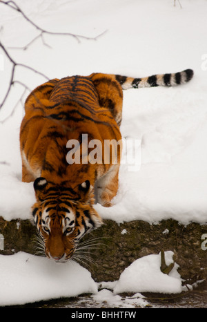 Thirsty Siberian tiger in the snow - Stock Photo