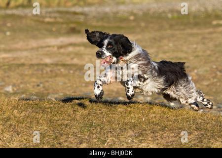English Springer Spaniel running - Stock Photo