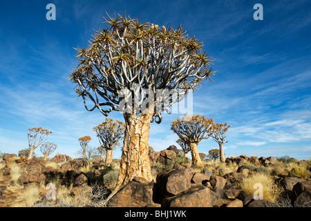 Quiver Tree (Aloe dichotoma) Forest near Keetmanshoop in Namibia - Stock Photo