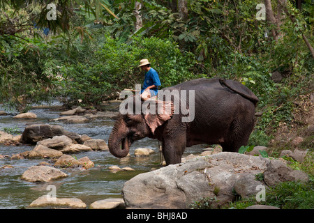 Maesa Elephant Camp, Elephants playing in water, 119/9 Tapae Road, Muang District, Chiang Mai, Thailand - Stock Photo