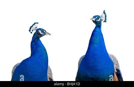 Peacock closeup isolated on white background Stock Photo