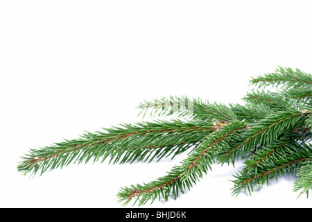 Composition from spruce twigs on the white background - Stock Photo