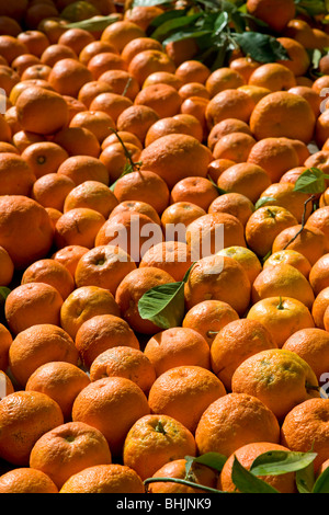 spain, andalucia, Seville Freshly harvested Seville Oranges - Stock Photo