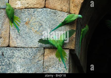 Indian Ringneck Parakeet, [Psittacula krameri manillensis]. - Stock Photo