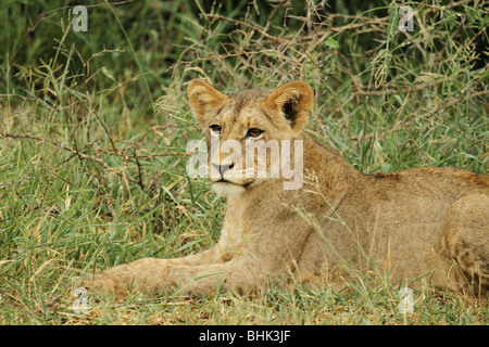 Young Lion lying in bush looking into distance - Stock Photo