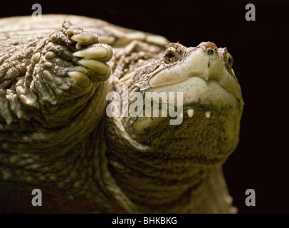 Common Snapping Turtle (chelydra serpentina) - Stock Photo