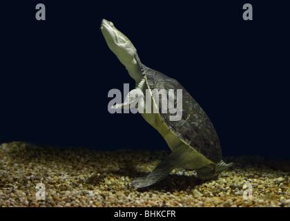 Snake-Necked Turtle - Stock Photo