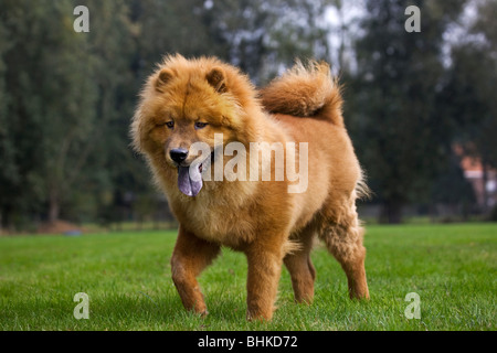 Chow Chow dog (Canis lupus familiaris) in garden - Stock Photo