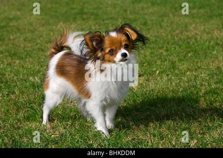 Papillon dog (Canis lupus familiaris) in garden - Stock Photo