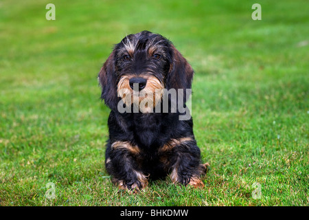 Wire-haired / Wirehaired Dachshund (Canis lupus familiaris) pup lying on lawn in garden - Stock Photo
