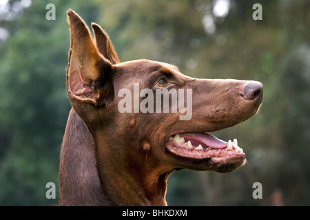 Doberman Pinscher / Pincher / Dobermann (Canis lupus familiaris) in garden - Stock Photo