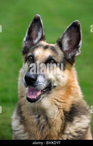 Alsation / German Shepherd dog (Canis lupus familiaris) lying on lawn in garden - Stock Photo