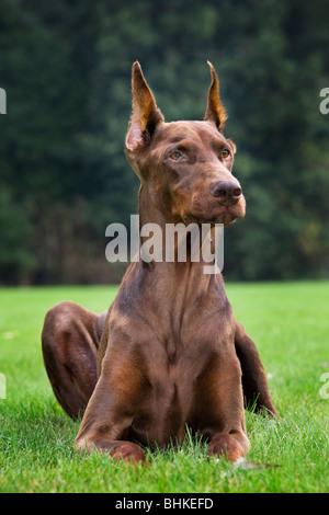 Doberman Pinscher / Pincher / Dobermann (Canis lupus familiaris) lying outside on lawn in garden - Stock Photo