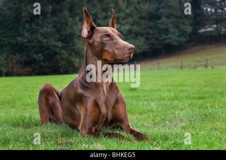 Doberman Pinscher / Pincher / Dobermann (Canis lupus familiaris) lying on lawn in garden - Stock Photo