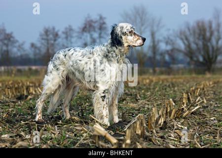 English Setter dog (Canis lupus familiaris) on field - Stock Photo