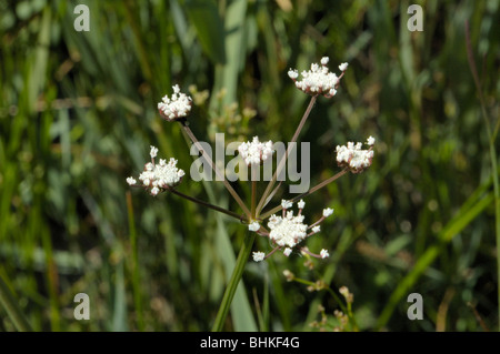 Parsley Water-dropwort, oenanthe lachenalii - Stock Photo
