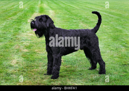 Giant Schnauzer (Canis lupus familiaris) on lawn - Stock Photo