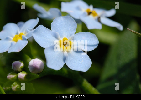 Water Forget-me-not, Myosotis scorpioides - Stock Photo