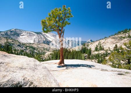 Lone Pine Tree, Olmstead Point, Yosemite National Park, California - Stock Photo