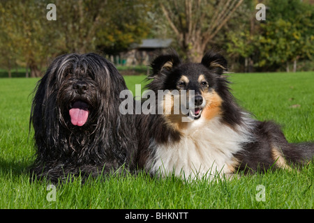 Schapendoes / Dutch Sheepdog and Shetland Sheepdog / collie (Canis lupus familiaris) in garden - Stock Photo