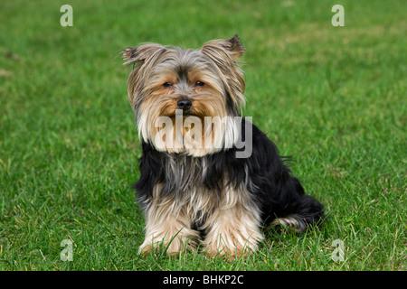 Yorkshire terrier / Yorkie (Canis lupus familiaris) in garden - Stock Photo