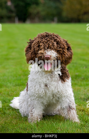 Spanish Water dog or Perro de Agua Espanol (Canis lupus familiaris) lying in garden - Stock Photo