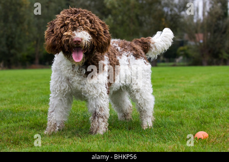 Spanish Water dog or Perro de Agua Espanol (Canis lupus familiaris) in garden - Stock Photo