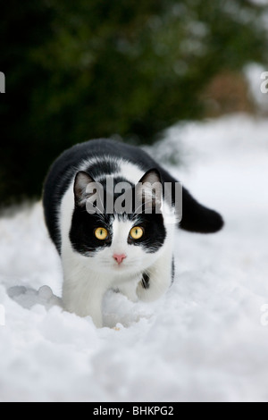 House cat (Felis catus) in garden in the snow in winter - Stock Photo