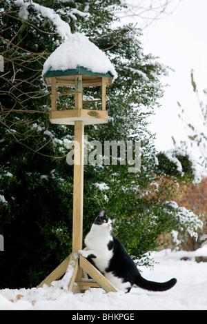 House cat (Felis catus) climbs birdfeeder in garden in the snow in winter - Stock Photo