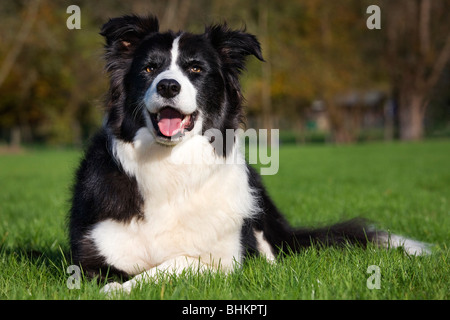 Border Collie (Canis lupus familiaris) in garden - Stock Photo