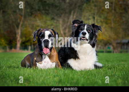 Border Collie and Boxer (Canis lupus familiaris) in garden - Stock Photo