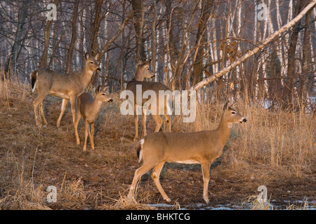 White-tailed deer in spring - Stock Photo