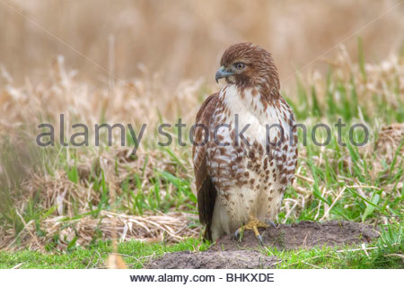 A juvenile red-tailed hawk (Buteo jamaicensis) hunts in an open field in the Ridgefield National Wildlife Refuge - Stock Photo