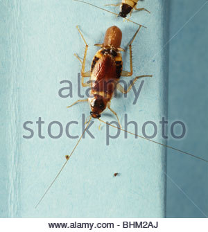 Banded Cockroach (Supella longipalpa) gravid female - Stock Photo