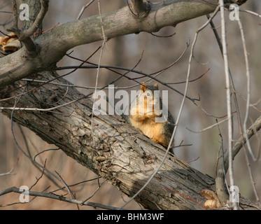 fox squirrel Ohio rodent mammal tree wildlife animal - Stock Photo