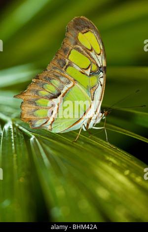 Siproeta stelenes (Malachite) butterfly, Parc de la tête d'or's vivarium (Golden Head Park), Lyon, France - Stock Photo