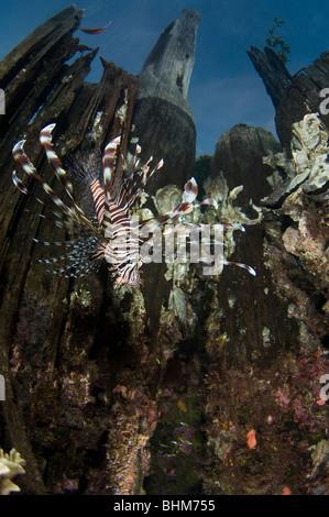 Lionfish near the surface - Stock Photo
