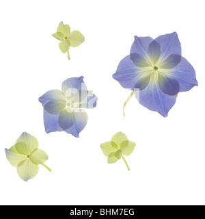 Scan of blue and green Hydrangea flower petals. Cut-out isolated on white background. cut out cutout - Stock Photo